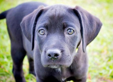 Riley The Labrador Mix Puppies Cute