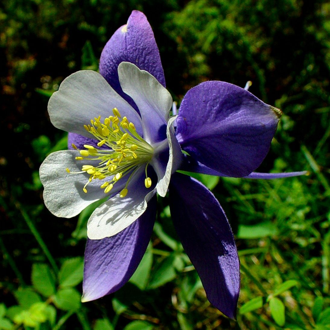 Colorado State Flower The White And Lavender Columbine Proflowers Blog