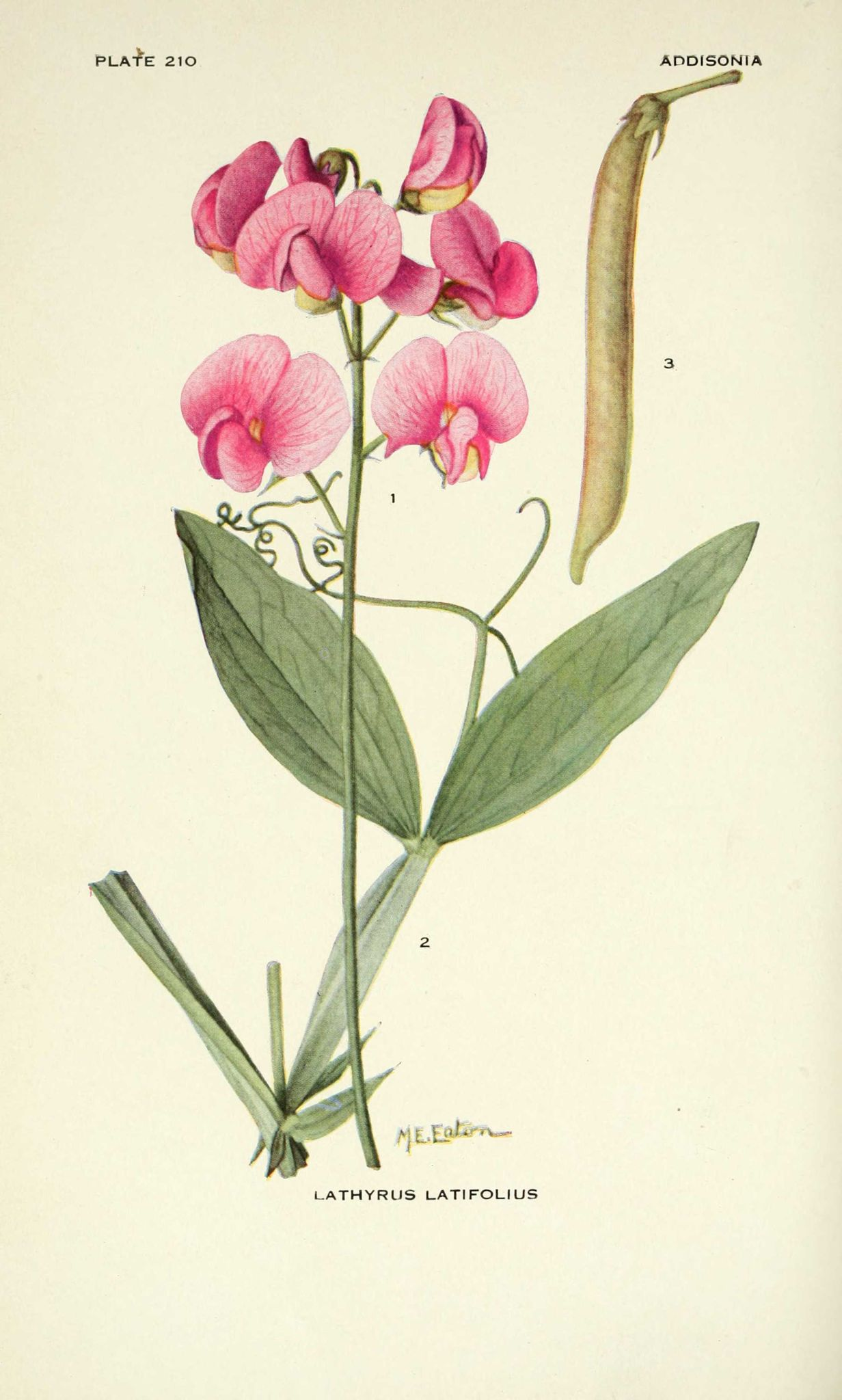Addisonia illustrations fleurs lathyrus latifolius for Pois de senteur