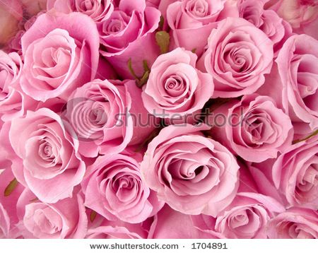 Pink roses often have a similar meaning to peach roses they can say pink roses often have a similar meaning to peach roses they can say thank mightylinksfo
