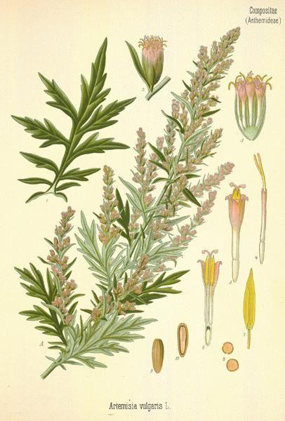 Mugwort Artemisia Vulgaris Garden Botanical Prints