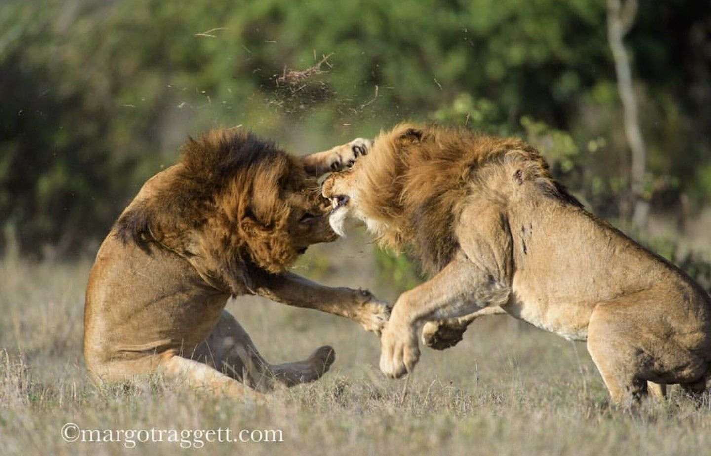 Big fight, between two male lions Big cats, Lion