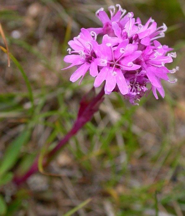 25 Alpine Catchfly Seeds Viscaria Alpina Rock Garden Limited Supply Alpinecatchfly Plants Habitats Wild Flowers