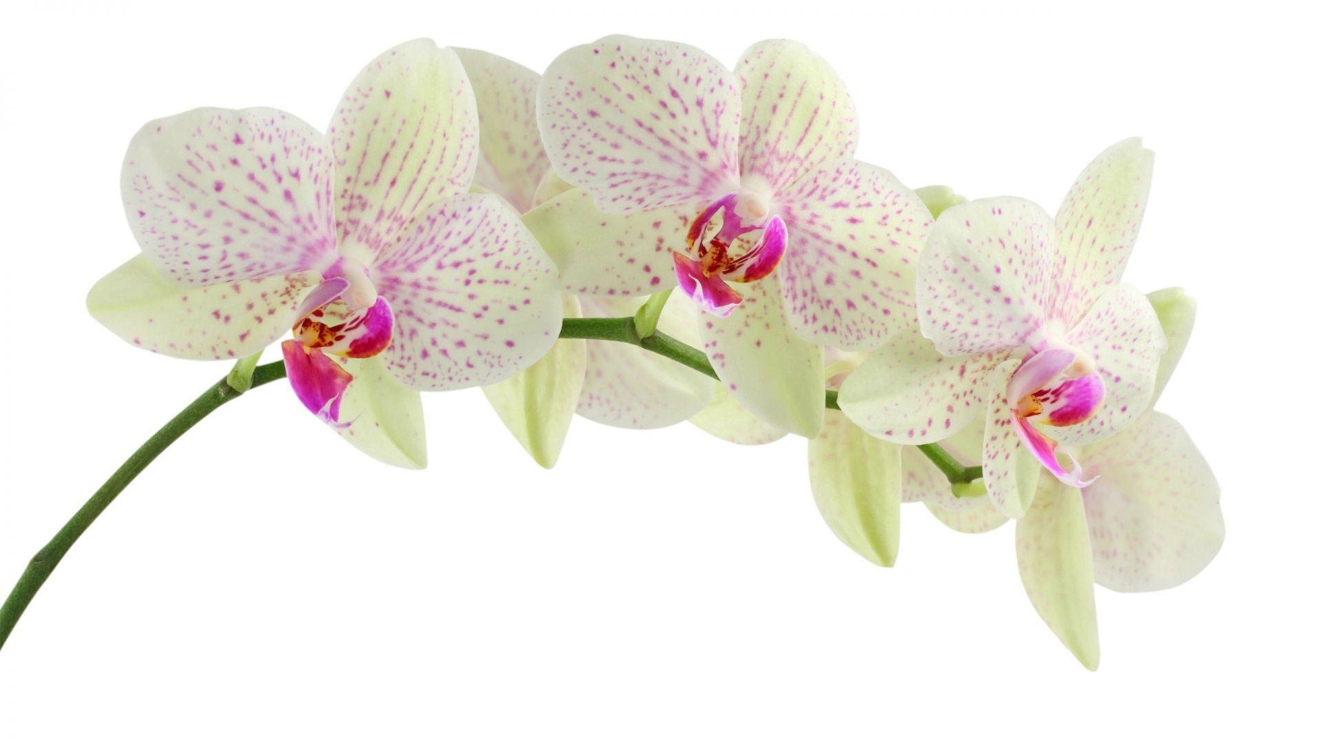 Orchid white wallpapers flower flowers desktop wallpaper