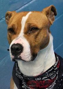 Adopt Kulak On Pitbull Terrier Terrier Mix Dogs Bull Terrier Mix