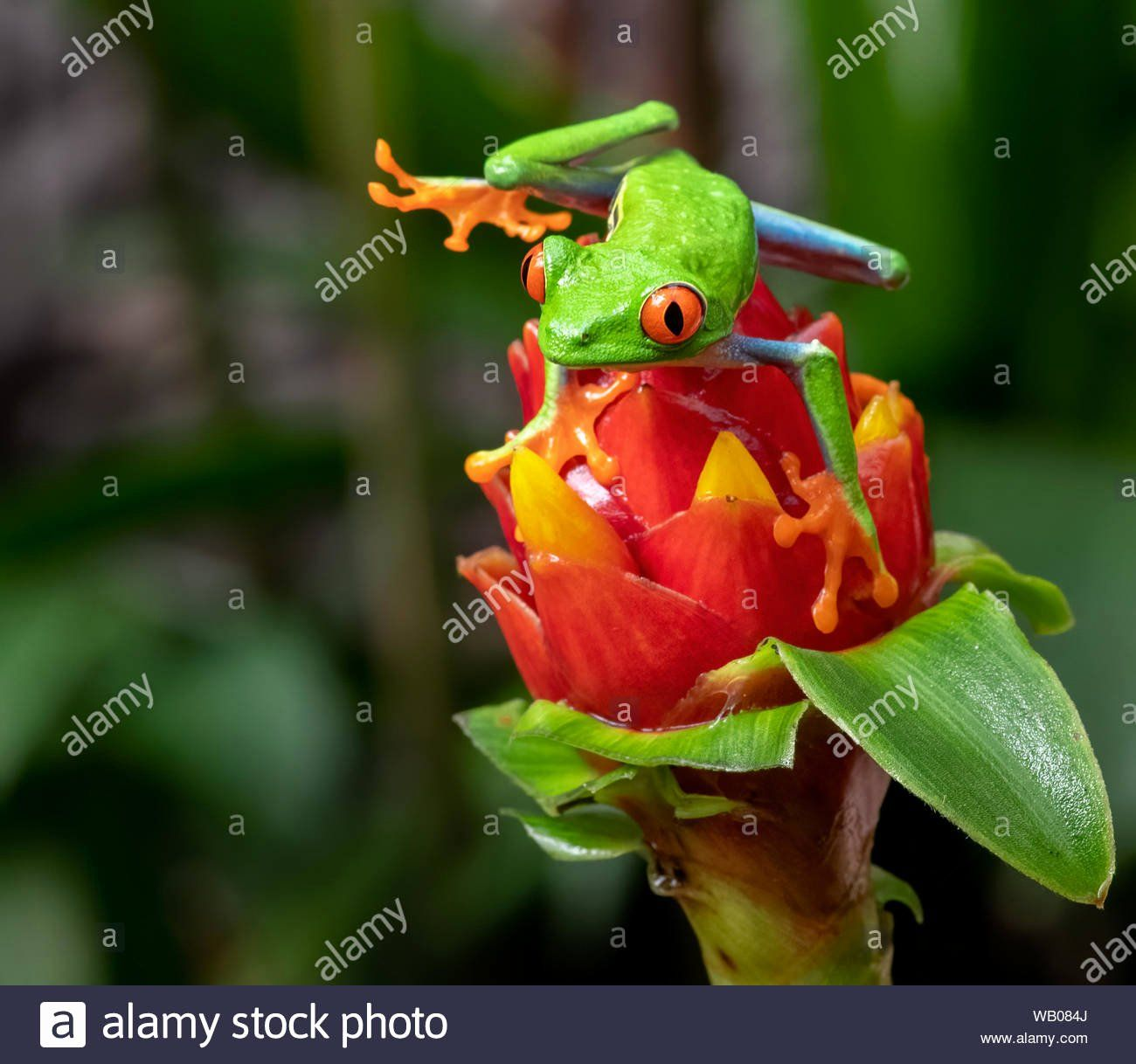 Coloring Page Red Eyed Tree Frog Awesome Red Eyed Green Tree Frog