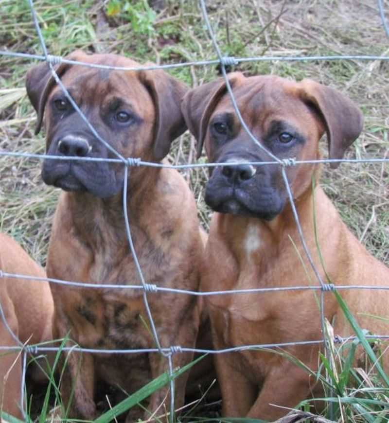 2 Bullmastiff Puppies Both Males One Red And One Brindle