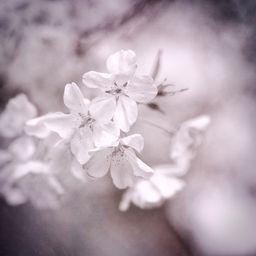Sakura Ii By John Woodhams Sakura Cherryblossoms Monochrome Spring