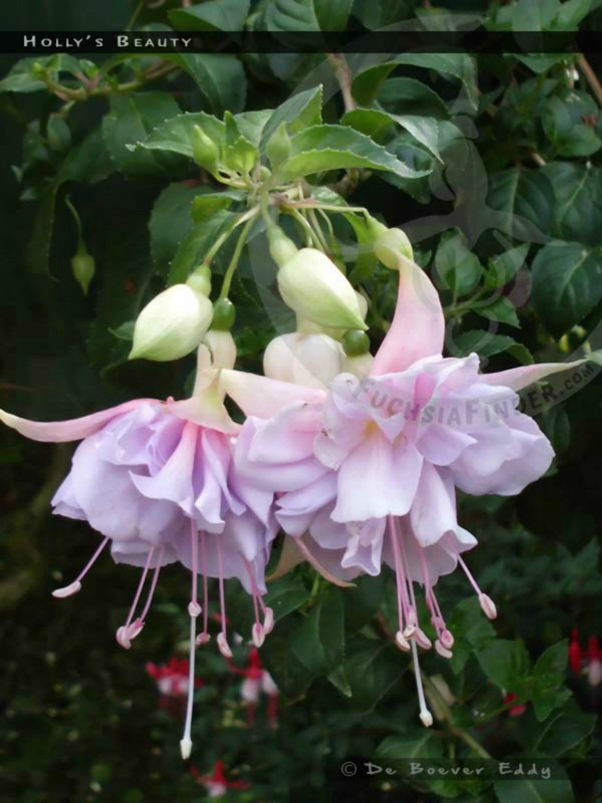 Details about Fuchsia Hollys Beauty & Gary Rhodes