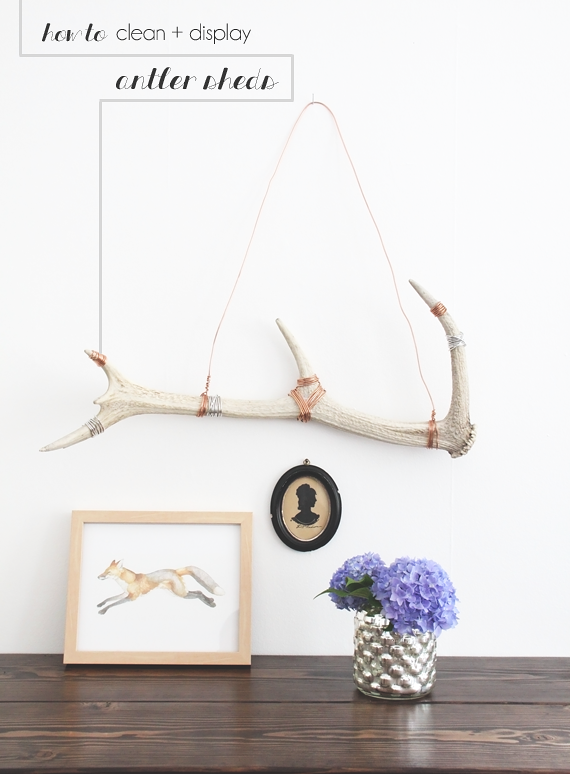 How to Clean and Display Antler Sheds || Jade and Fern