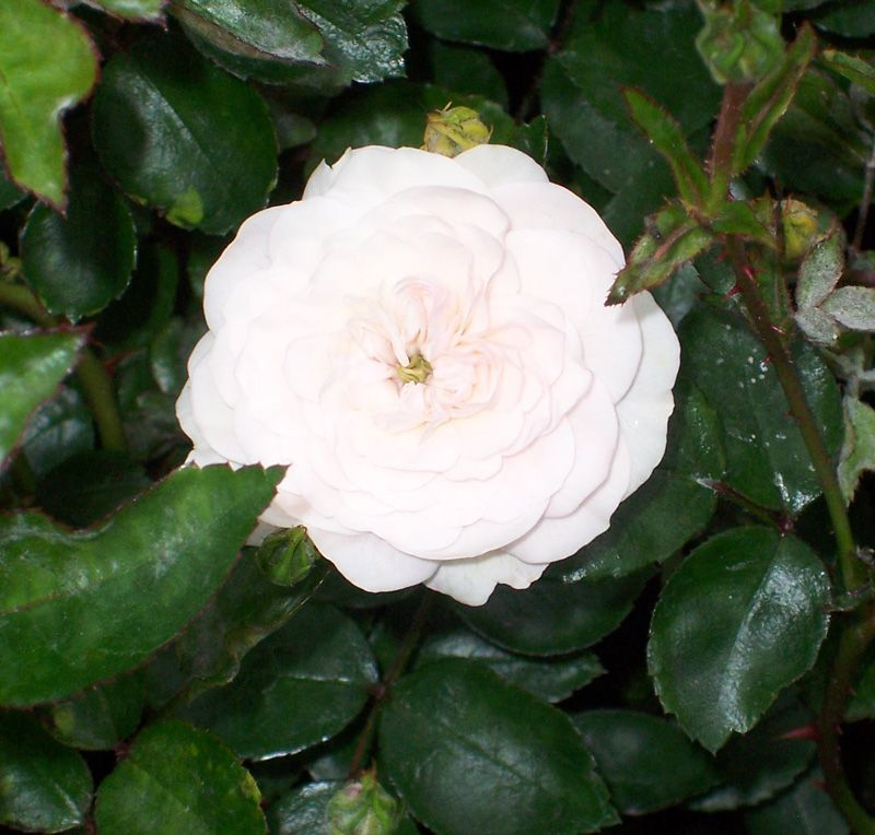 Roses In Garden: Rosa Swany (Groundcover Rose) Is A Low Growing, Deciduous
