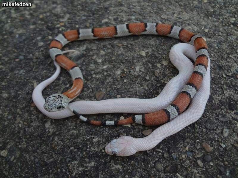 Little baby king snakes