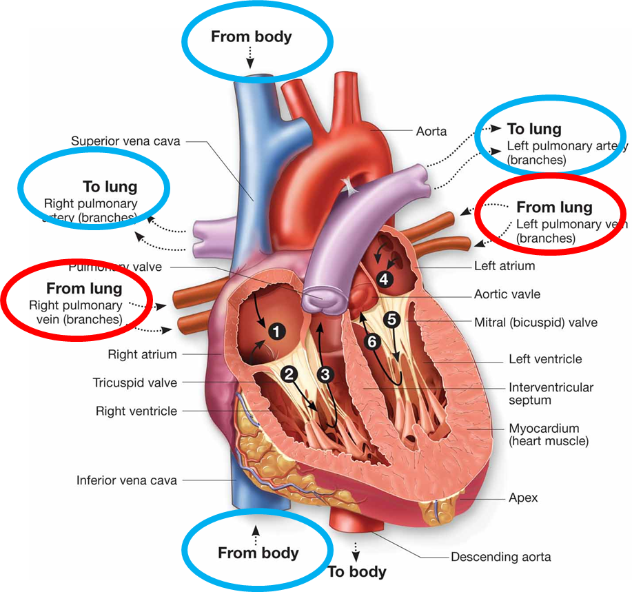 image path_of_blood for term side of card | Nursing Stuff | Pinterest