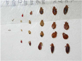 Signs Of Bed Bugs In Carpet
