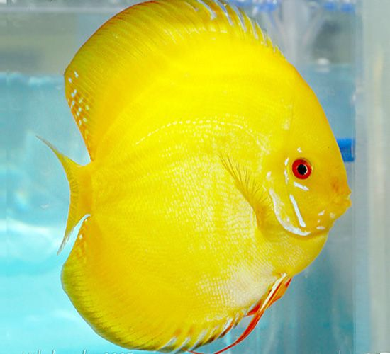 Canary yellow discus or lemon drop discus discus for Yellow tropical fish