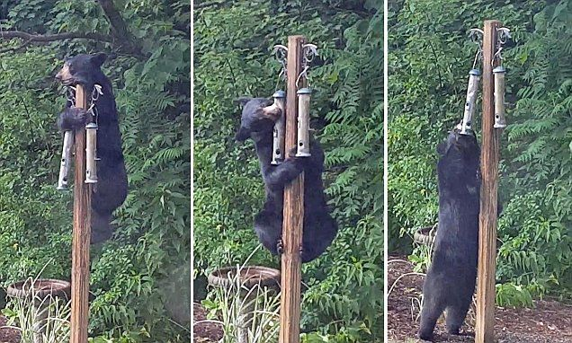 The large, furry animal was caught on camera in Massachusetts trying to steal food from a bird feeder on the top of a pole. He tries to scale the post before using his teeth - failing both times.