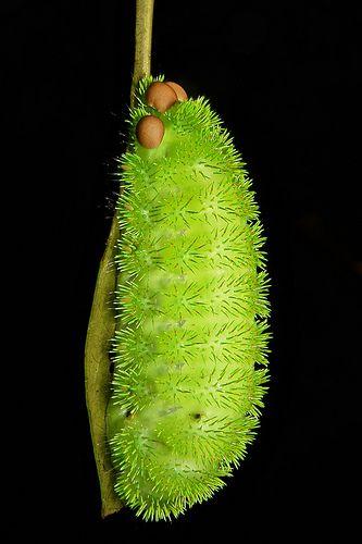 "stinging nettle slug caterpillar (cup moth, limacodidae) ""pin cushion"" | john horstman"