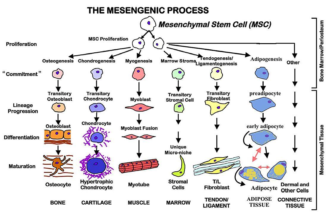 applications of stem cells in medicine pdf