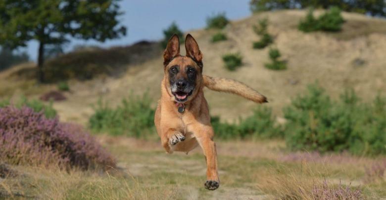 كلاب مالينو الراعى البلجيكى معلومات عن الكلاب البلجيكى بالصور والفيديو Malinois Belgian Malinois Malinois Dog Zoomies