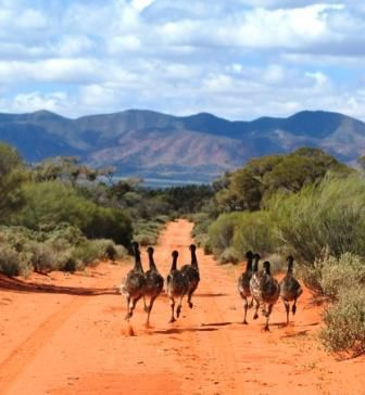 Emus - The outback, Australia. An emu is a large, flightless Australian bird (Dromiceius novaehollandiae) related to and resembling the ostrich and the cassowary.