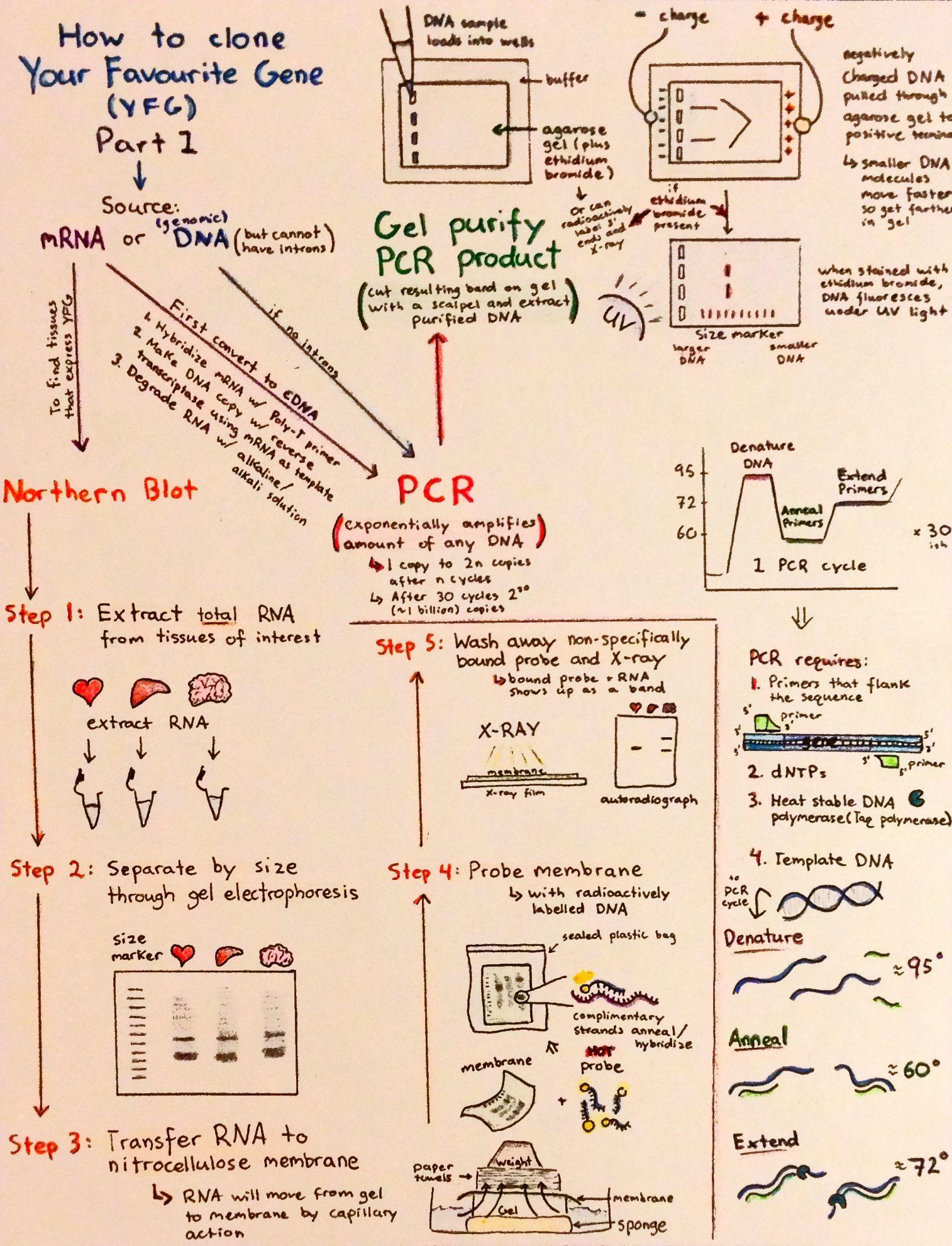 Introductory Biochemistry Flowcharts