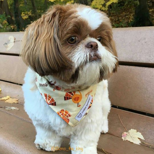 Pin On Shih Tzu Daily