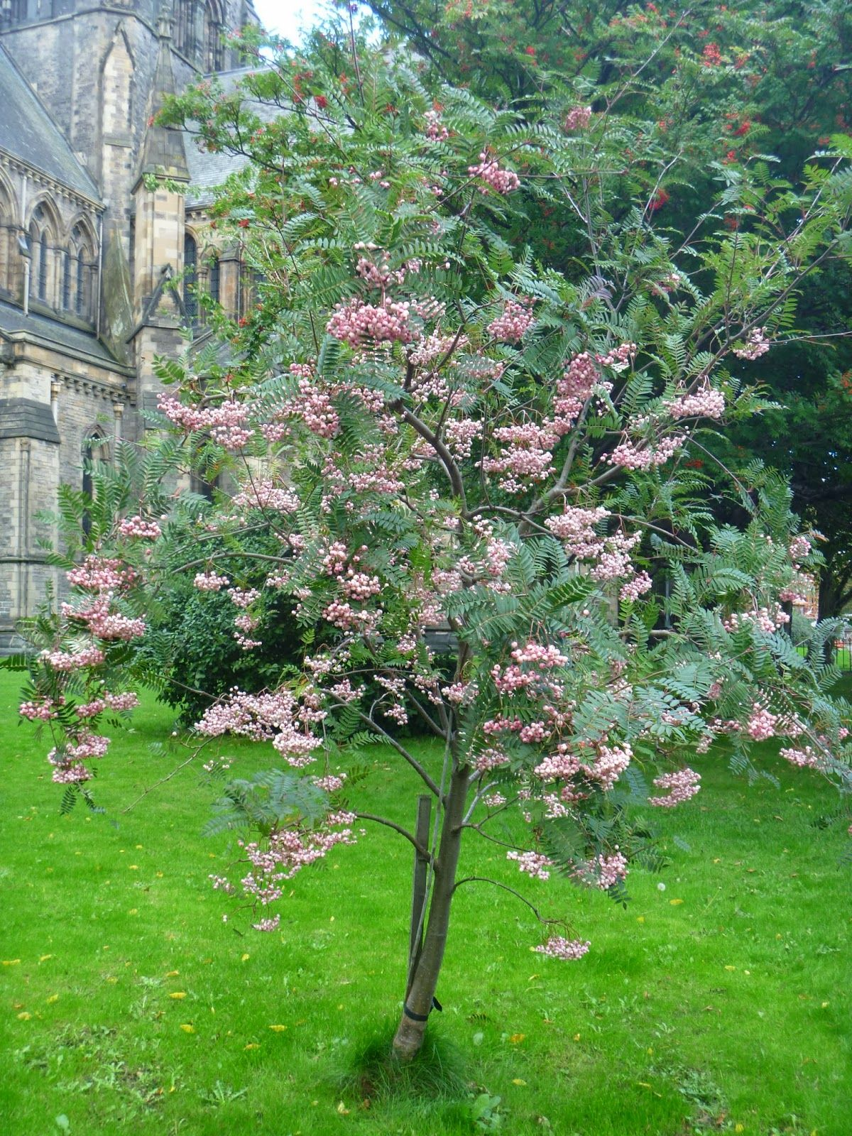 Sorbus aucuparia city tree google plants for Garden city trees