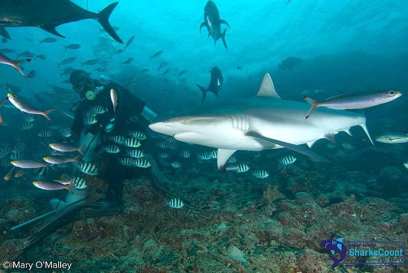 Divers Guide To Marine Life Grey Reef Shark Carcharhinus Amblyrhynchos Tiburones Y Orcas Orcas Y Tiburones