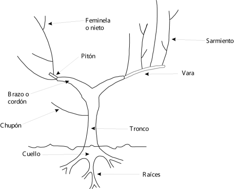 Anatomía de la Vid!!! | HortiCulturA - aGricultura | Pinterest | La ...