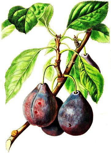 Purple Figs Fruit Png Clip Art Digital Image Download Graphics Art Printables Food Gardening Clipart Vintage Illustrations Fruit Trees Tree Art Fig Fruit Tree
