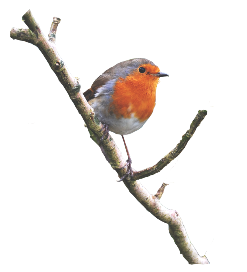 Robin On a Branch PNG.. by AledJonesStockNArt on DeviantArt