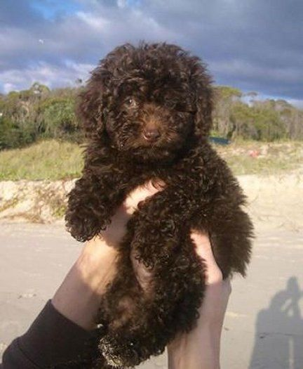 Irish Water Spaniel Puppy Irish Water Spaniel American Water Spaniel Spaniel Puppies