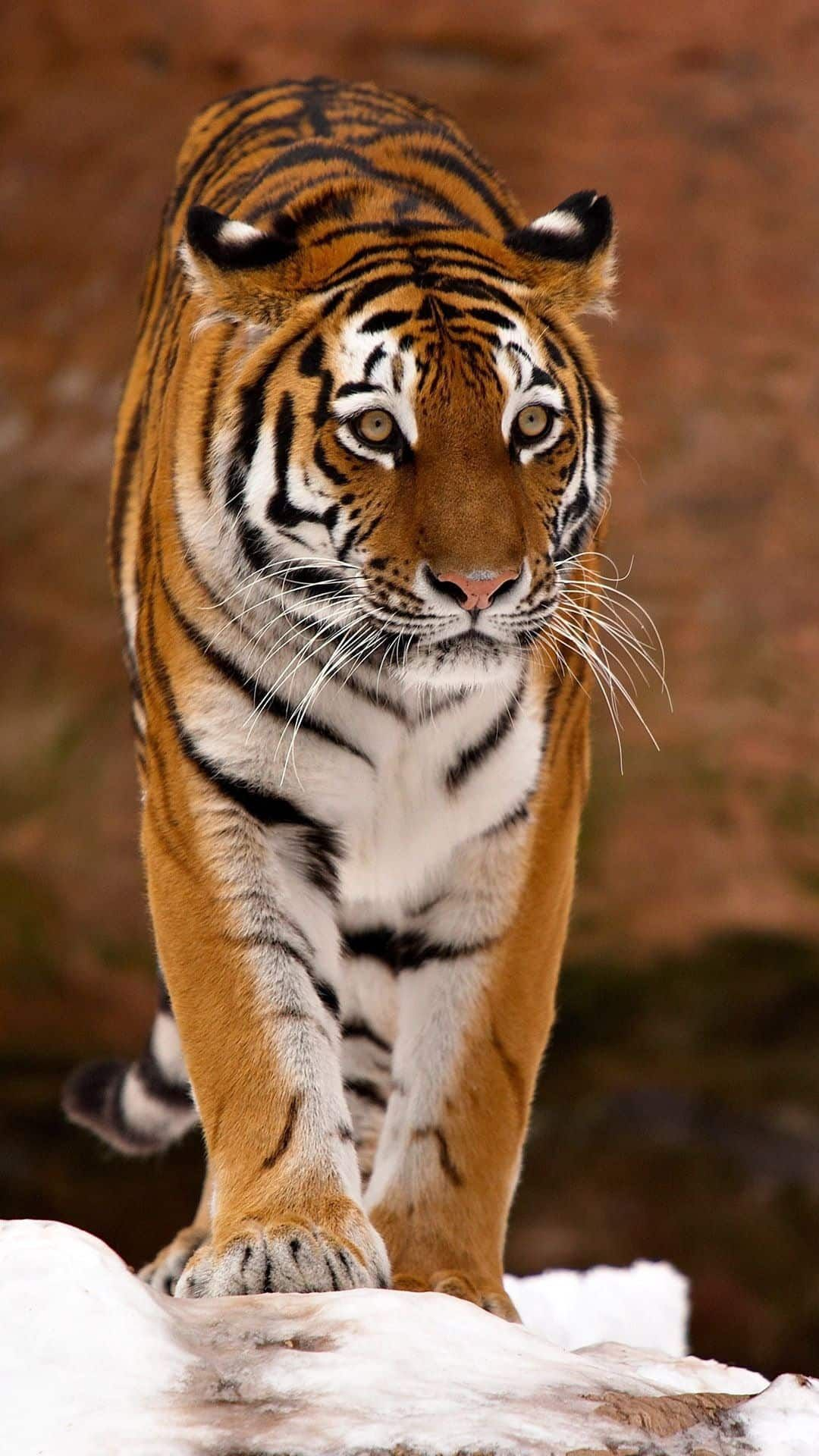 Http Mobw Org 22204 3d Tiger Mobile Wallpaper Html 3d Tiger