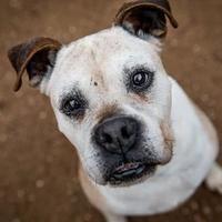 Austin, TX Boxer. Meet MOJO a Pet for Adoption. in 2020