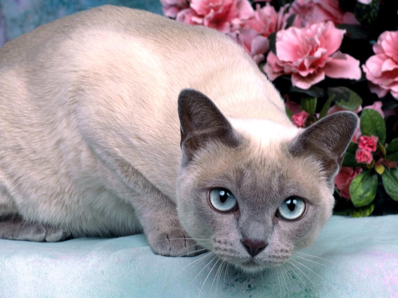 Platinum Mink Tonkinese Hd Cat Wallpapers Kittens Puffy Cats