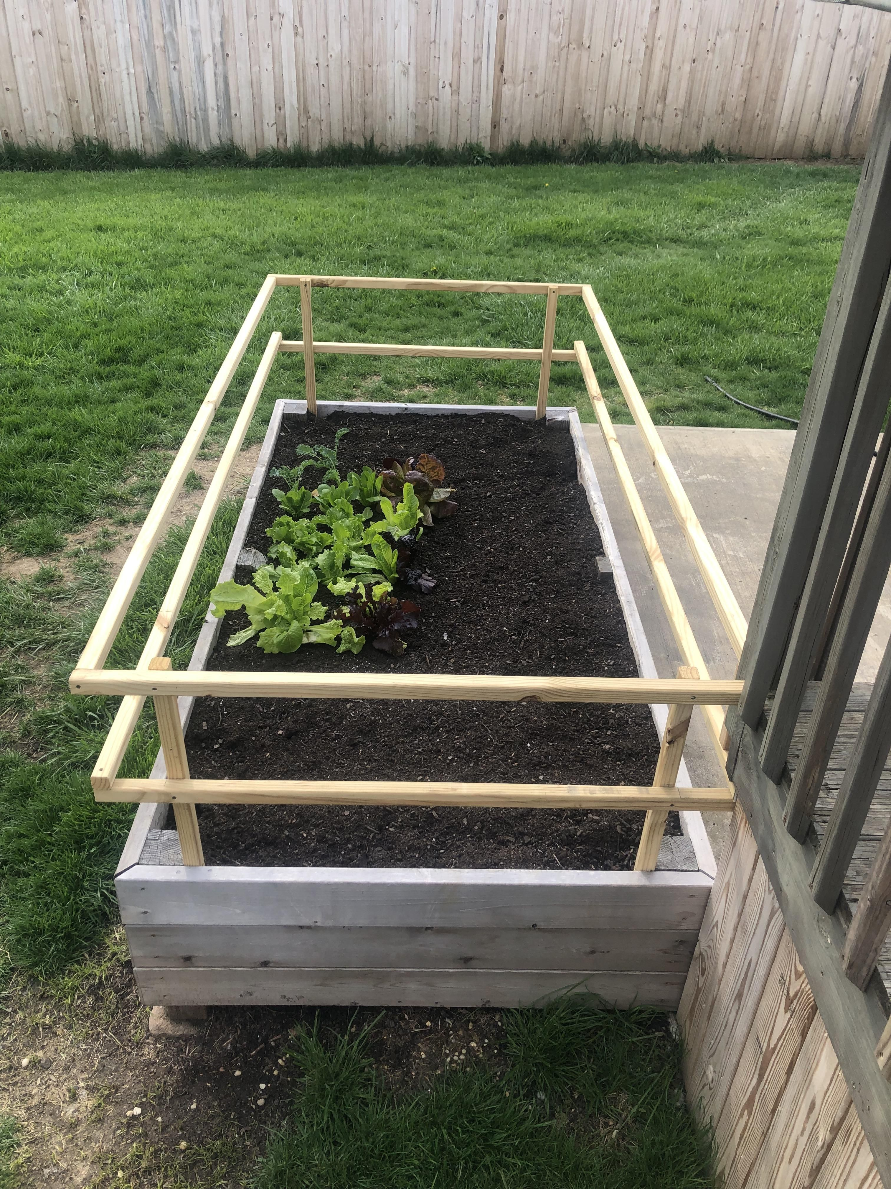Our lettuce is looking good in our dog-proof garden box