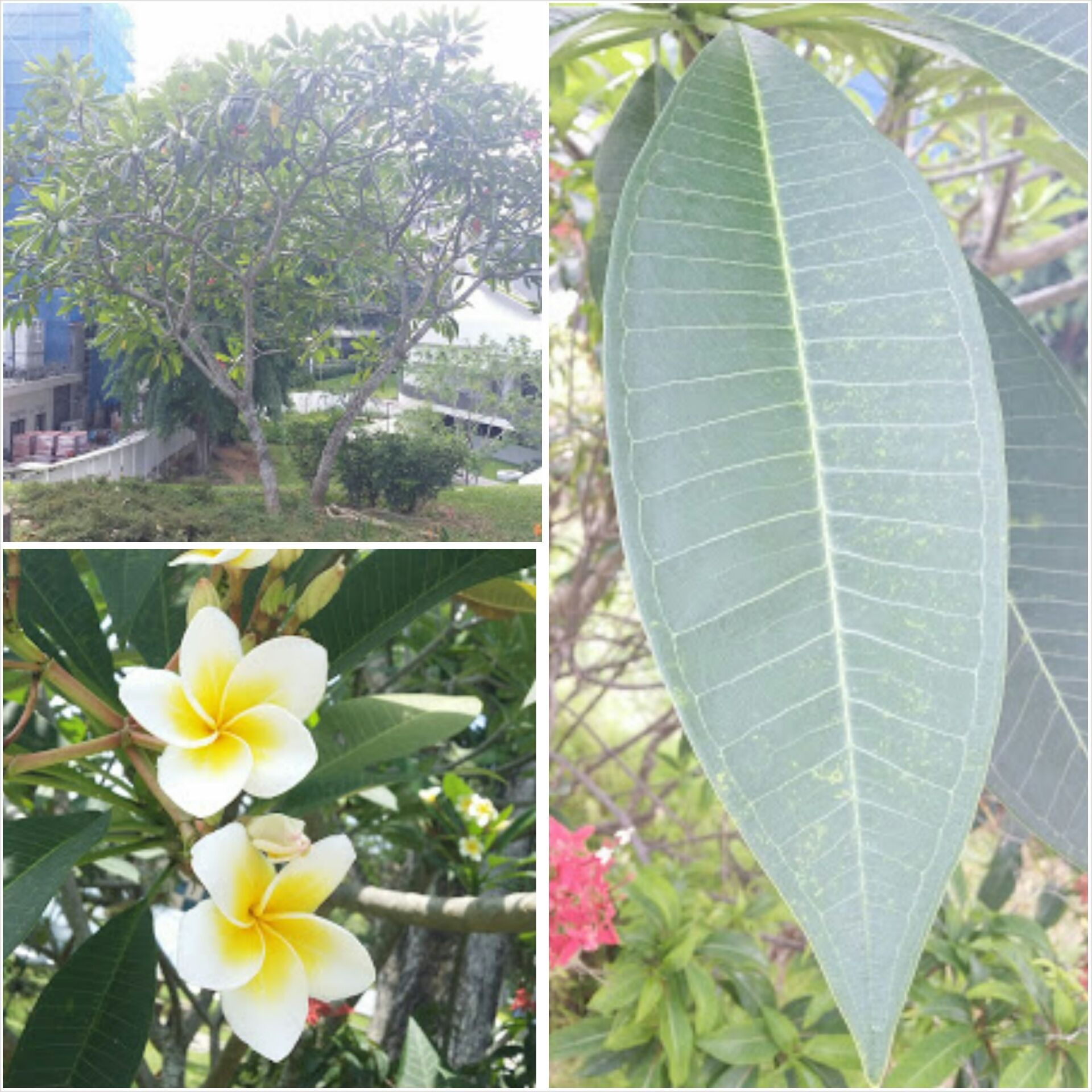Scientific Name Plumeria Rubra Family Name Apocynaceae Common Name Frangipani Leaves Alternate Flowers White Yellow P Plumeria Plant Leaves Botanist