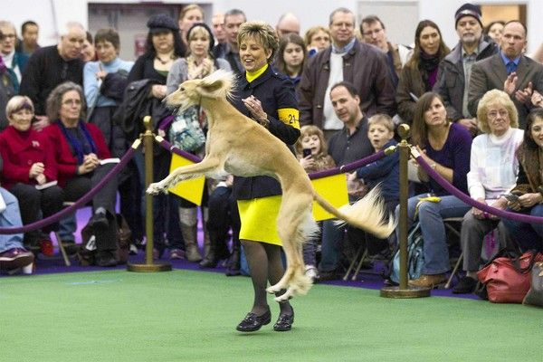 A Handler Celebrates After Winning Best Of Breed With A Saluki Named Sandstorm Blue Nile Bubbles Of Jatara During The 137th Saluki Dogs Saluki Spiritual Animal