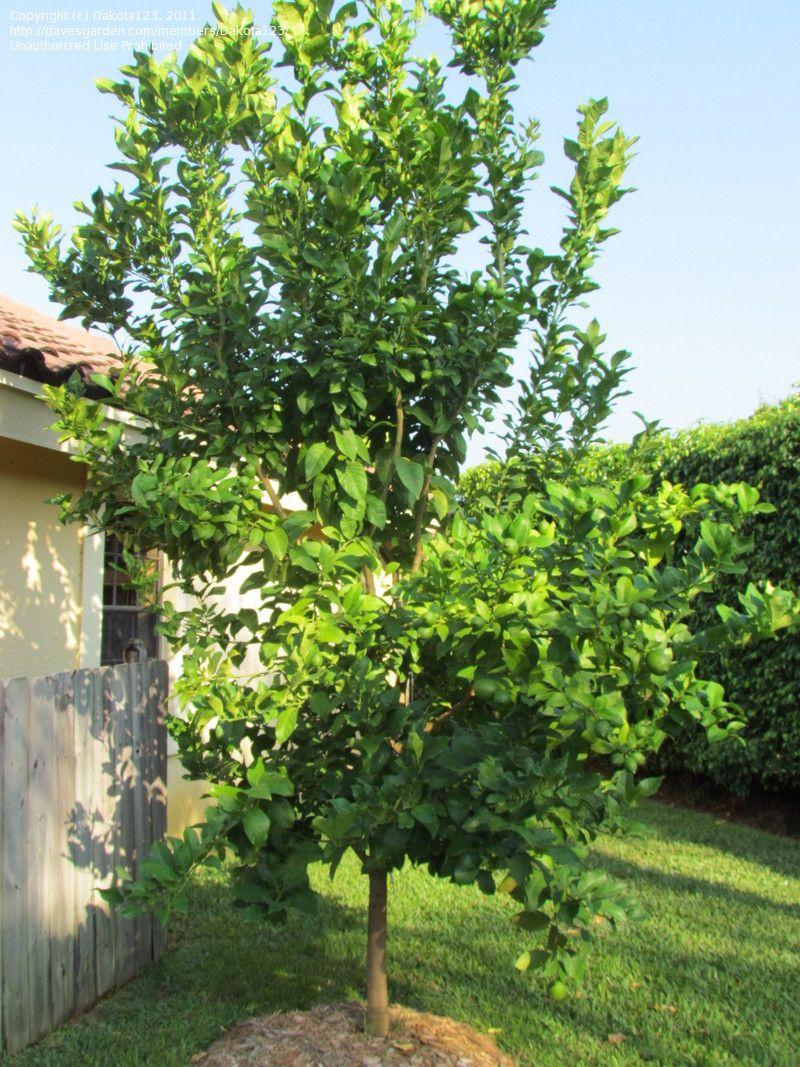 Full Size Picture Of Lemon Tree Eureka Citrus Limon