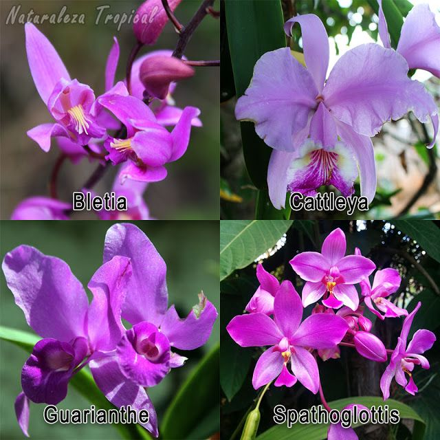 Orqu deas comunes en la regi n tropical de am rica for Plantas ornamentales mas comunes