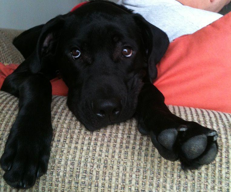 Mastador Puppy Half Labrador Retriever Half English Mastiff All