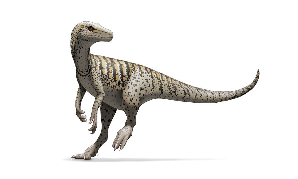 Herrerasauria, meaning'Herrera's lizard', is one of the oldest recorded dinosaur genus in the history of the species. Herrerasaurs appeared in the fossil record as early as 228 million years ago, in the mid to late Triassic Period. The species went extinct at the conclusion of the Triassic Period. Herrerasaur physiology resembled the later-appearing theropods, who may in fact be the early dinosaurs' closest relatives. However, as opposed to the larger theropods, hererrasaurs w...