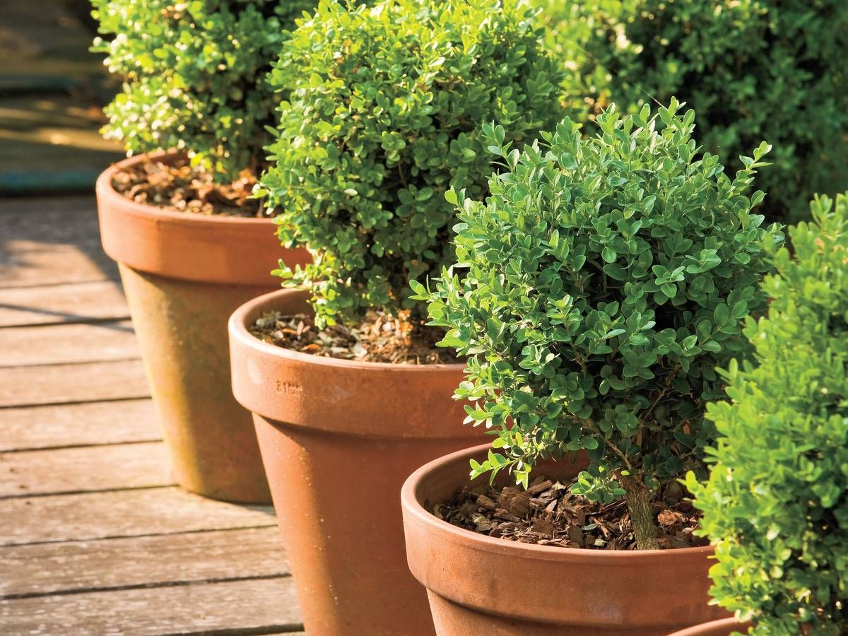 Boxwoods Perfect For Pots Boxwood Landscaping Garden Shrubs Plants