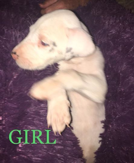 Litter Of 6 Great Dane Puppies For Sale In Greenville Sc Adn