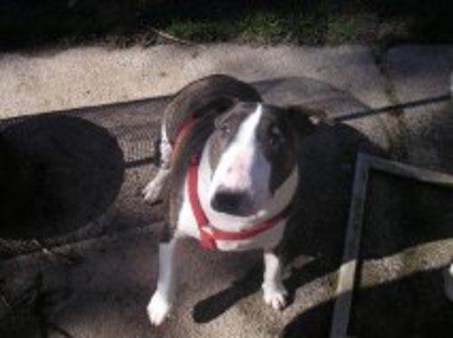 Nikki Bull Terrier Dog Seattle Wa Bull Terrier Bull Terrier For Sale Bull Terrier Dog