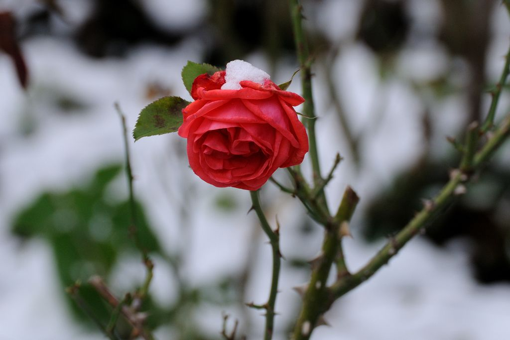 snow rose hd wallpapers snow rose hd images snow rose hd pictures