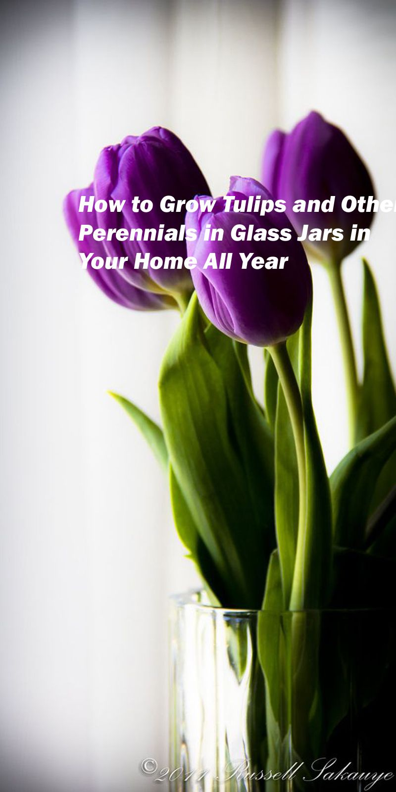 grow or force tulips and other perennials in glass jars all year around in your home. Glass vases or canning gars are great to use when growing tulips in your home garden.#homegarden #beautifulhomegarden #vegetablegardenplanner #vegetablegardenideas #vegetablegardendesign #vegetablegardeningbooks #vegetablegardenar #vegetablegardenatschool #vegetablegardenpictures #vegetablegardenimage #vegetablegardeninfrench #gardenvegetableplant#gardening