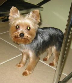 teddy haircut for yorkies image result for teddy cut yorkies precious 4574