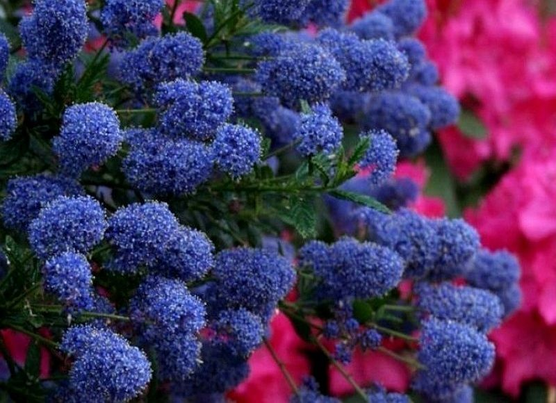 Informacje O Niebieski Zimozielony Prusznik Victoria Sadzonki 7847277382 W Archiwum Allegro Data Zakonczenia 2019 04 22 Cena 14 50 Garden Ikebana Victoria