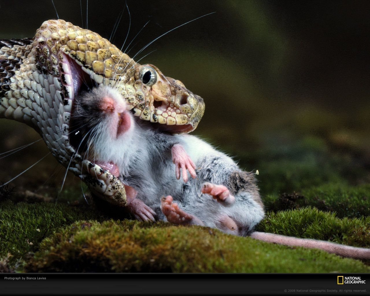 Image result for viper swallowing rat